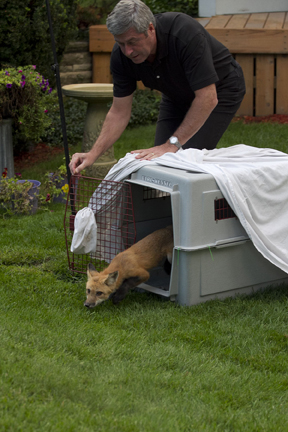 Toronto Wildlife Centre volunteer Ron Paquette releases a fox back into the Bluffs area after it was treated for mange. Several foxes have been trapped, treated and released by volunteers. PHOTO: Ann Brokelman
