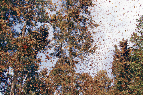 The wintering spot of migrating monarch butterflies is seen in this still from Flight of the Butterflies, an IMAX film produced by Beachers and husband-and-wife film producers Jonathan Barker and Wendy MacKeigan, below.