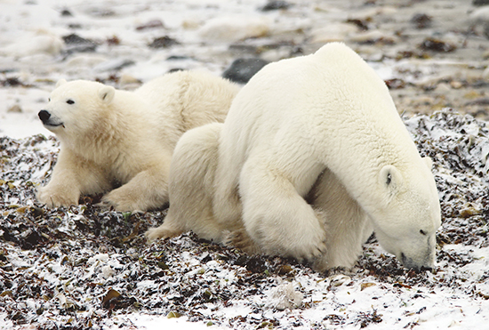 Polar bears eat kelp along the western shore of Hudson Bay. PHOTO: Catherine Hastie