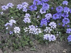 garden-IMG_1569 blue verbenasweb