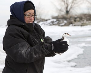 Sarah from Toronto Wildlife Centre releases a grebe at Bluffers Park.  PHOTO: Ann Brokelman
