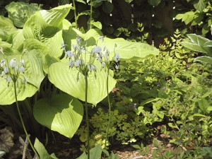 Hostas may get some sunburn  this season if your trees were damaged. PHOTO: Mary Fran McQuade