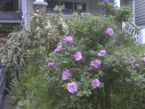 Tough roses like this rugosa should come through winter just fine. PHOTO: Mary Fran McQuade