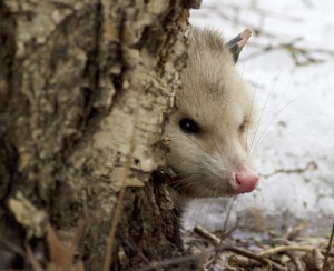 This opossum was spotted in a yard near the Scarborough Bluffs. PHOTO: Ann Brokelman