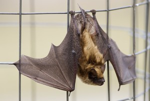Little brown bat numbers are dwindling enough for them to be considered endangered. PHOTO: Ann Brokelman