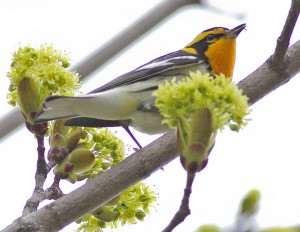 Blackburnian warbler. PHOTO: Ann Brokelman