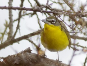Yellow-breasted chat. PHOTO: Ann Brokelman