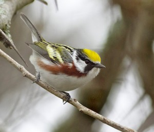 Chestnut-sided warbler. PHOTO: Ann Brokelman