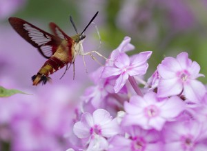 The hummingbird moth can often be mistaken for its namesake, feeding on the same nectar the birds enjoy. PHOTO: Ann Brokelman