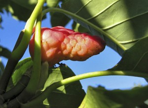 Ontario's cucumber tree, a magnolia species, sports a scaly fruit that gives the tree its name. PHOTO: Steven Chadwick