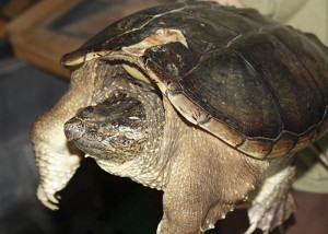 Porter the turtle