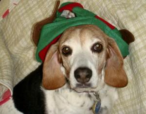 Angel the beagle