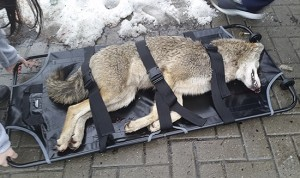 This coyote was hit by a car while running across Queen Street East near Silver Birch Avenue on Dec. 16. The animal later died of its injuries. PHOTO: Jeremy Campbell