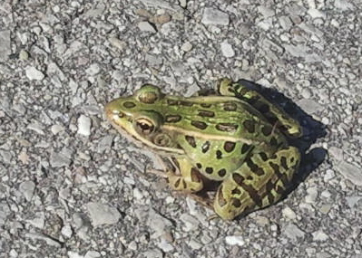This little frog is just one example of the fauna and flora awaiting the intrepid park explorer at Tommy Thomson Park, also known as the Leslie Street Spit. PHOTO: Martina Rowley