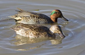 Green-winged teal. PHOTO: Ann Brokelman