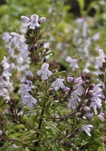 Winter lemon savory looks like plain winter savory, but has a clean lemon scent. PHOTO: Richters Herbs