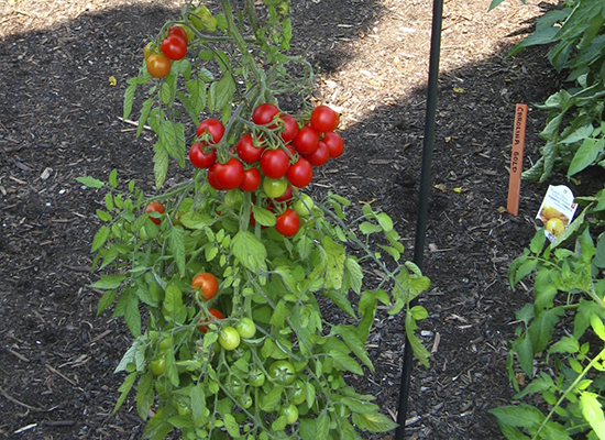 Could these sweet little tomatoes ever hurt anyone? Take Mary Fran McQuade's garden quiz, above, and find out the answer below. PHOTO: Mary Fran McQuade