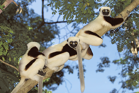 Lemurs like these would be the beneficiaries of an educational film Beacher Travis Steffens is hoping to use to curb wildfires in Madagascar. PHOTO: Travis Steffens