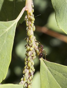 These aphids infested a spirea shrub in author Steven Chadwick's front garden. PHOTO: Steven Chadwick