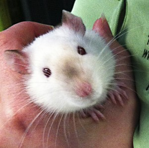 Delebar the rat