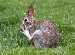 A wild rabbit's deceptively dangerous back foot. PHOTO: Ann Brokelman