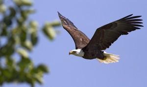 A bald eagle soars past the Bluffs near Rosetta McClain Gardens during the annual hawk watch. PHOTO: Ann Brokelman