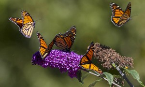 Raptors aren't the only airborne attraction this time of year – monarch butterflies are also in the midst of their annual migration to warmer climes. PHOTO: Ann Brokelman