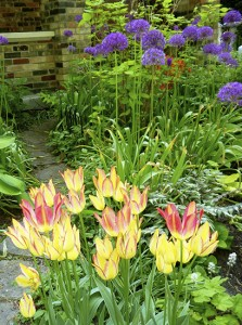 Antoinette tulips and dramatic alliums grow in Beacher Lucille Crighton's garden. PHOTO: Lucille Crighton