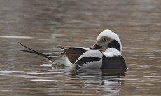 wild side-long tailed duck ashbridges