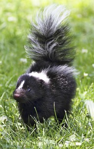 Skunks are an all-too-common sight in the East End. PHOTO: Ann Brokelman