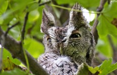 wild side owl 2
