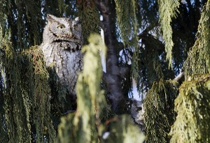 Screech owls can be hard to spot thanks to their camouflaged colouring. PHOTO: Ann Brokelman