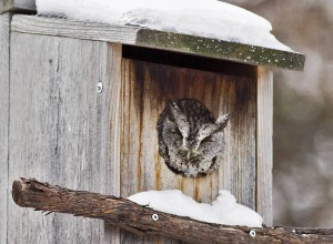 n the Wild Side author Ann Brokelman doesn't have a hard time spotting the one that lives in the owl box outside her study window. PHOTO: Ann Brokelman