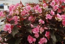 garden-Begonia_CocoaPuffPink-Terra Nova
