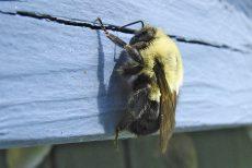 enviro_bumblebee