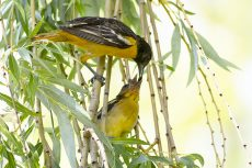 June 20 was a great day for Baltimore Oriole nest watchers - two babies orioles fledged the nest. One perched high enough for a photo during dinner. PHOTO: Ann Brokelman