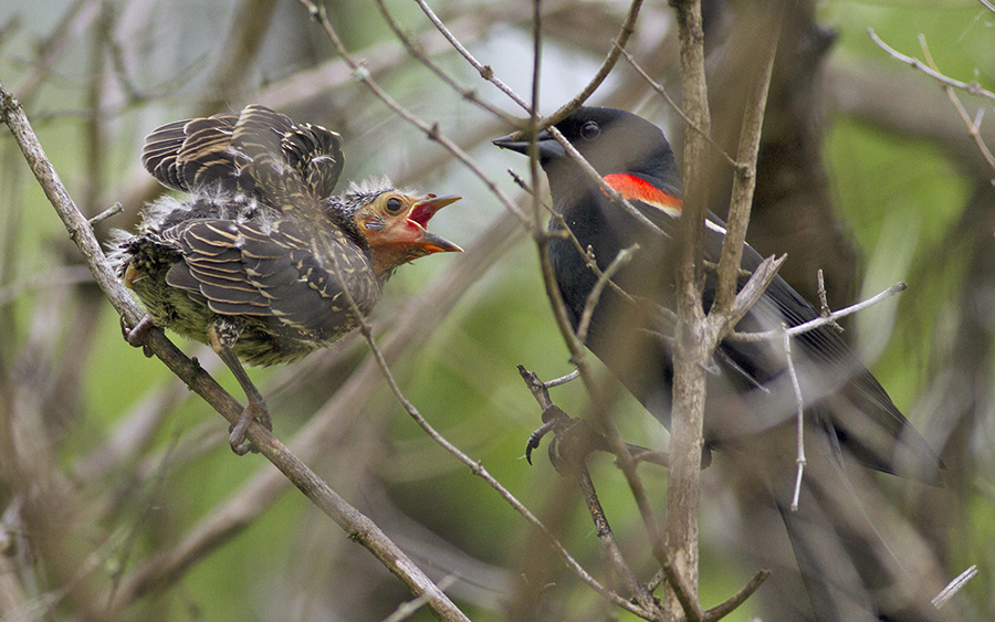wild side-red winged black bird and baby_MG_1990