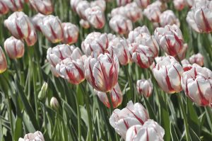 Plant these special tulips now to honour Canada's 150th year in 2017.