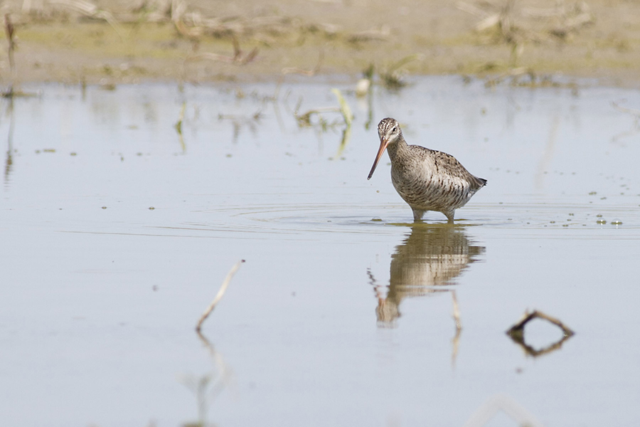 Shorebirds like the Hudsonian Godwit are a thrill to seek out.