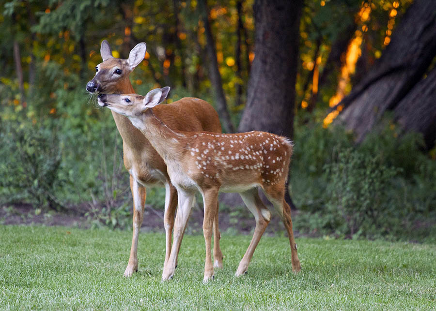 A fawn and doe enjoy a nuzzle on September 4.
