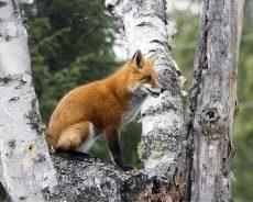 fox-in-tree_mg_2782