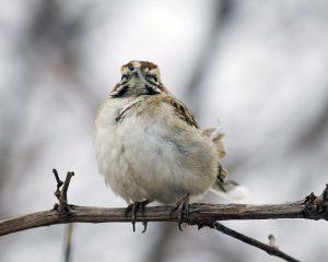 beach metro lark sparrow20161225_7319 copy