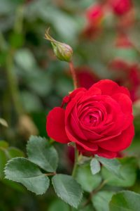 The Canadian Shield rose