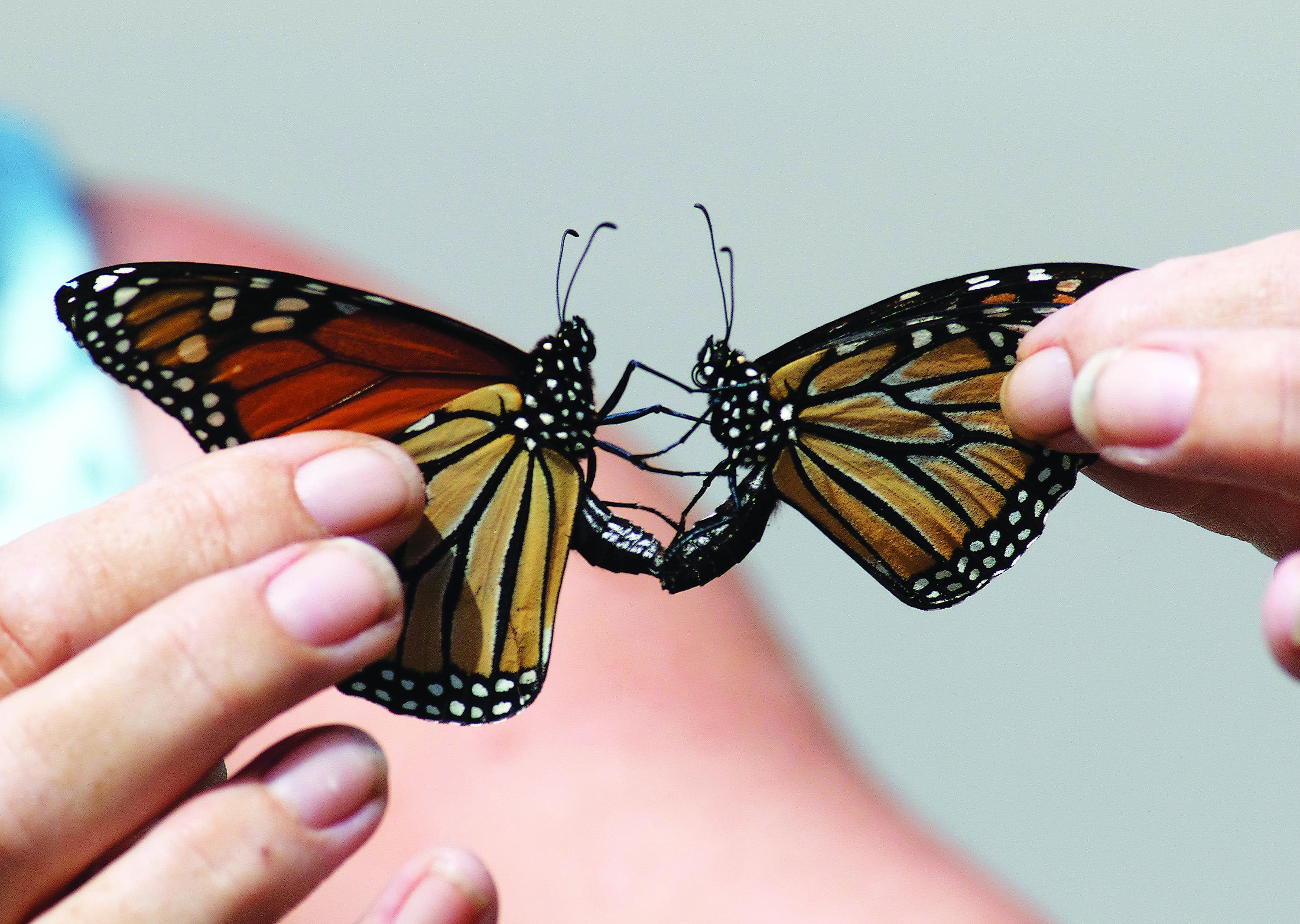 Monarch butterflies ca...
